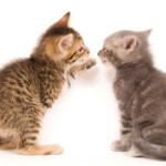 two-kittens-playing